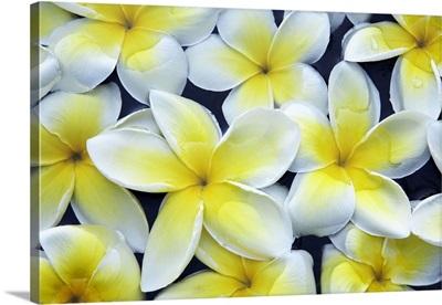 Thailand, Thailand Southern, Southeast Asia, Ko Tao, Frangipani flowers