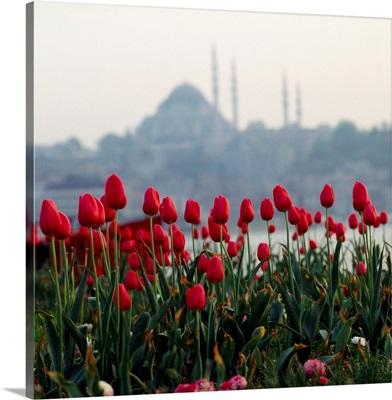 Turkey, Istanbul, Tulips and Suleymaniye mosque in background