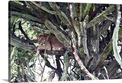 Uganda, Queen Elizabeth National Park, Tree climbing lioness resting on euphorbia tree