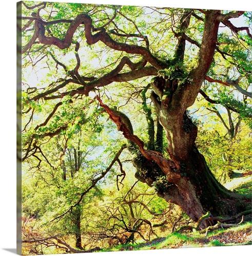 UK, England, Lake District, Cumbria, Rydal Water, Oak tree Wall Art ...