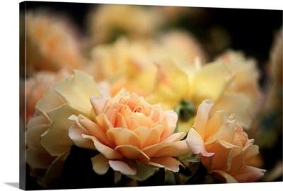 UK, England, Shropshire, Albrighton, David Austin garden centre, Golden Celebration rose