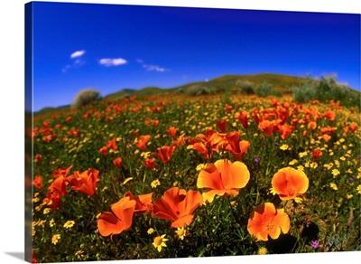 United States, California, Red poppy field