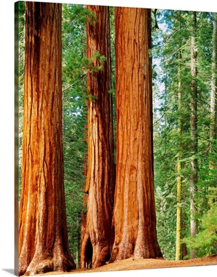 United States, California, Sequoia National Park, Giant Forest