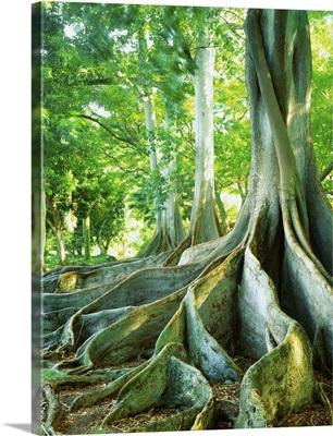 United States, Hawaii, Kauai island, Poipu Allerton Garden, giant ficus trees