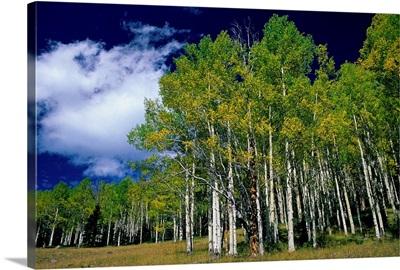 United States, Utah, Fish Lake, aspen trees