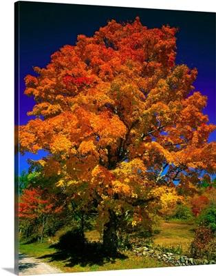 United States, Vermont, Sugar maple (Acer saccharum)