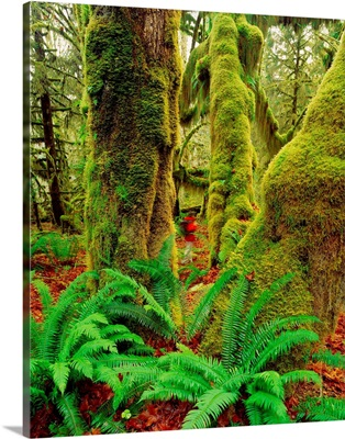 United States, Washington State, Olympic National Park , rain forest