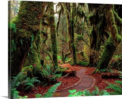 United States, Washington State, Olympic National Park, rainforest