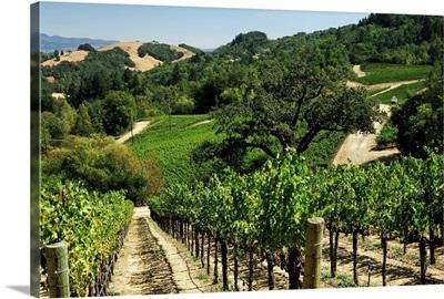 USA, California, Napa Valley, Vineyard