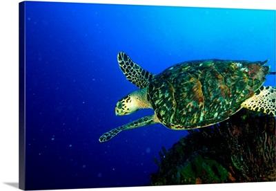 Venezuela, Los Roques National Park, Hawksbill sea turtle