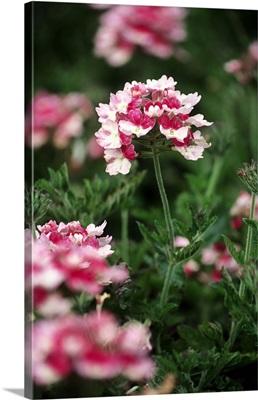 Verbena Pink Parfait