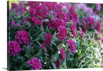 Verbena temari patio rose