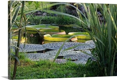 Waterlily (Victoria amazonica)