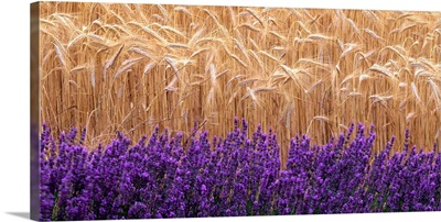 Wheat and lavender, Field of wheat and lavender
