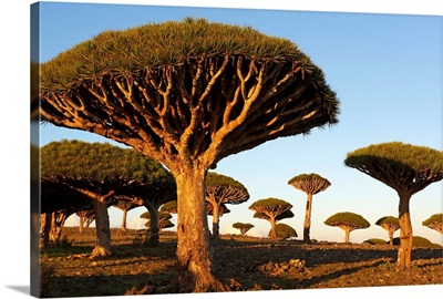Yemen, South Yemen, Socotra, Dragon tree, Dracaena Cinnabari