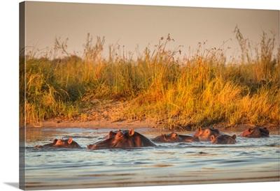Zambia, Hippopotamus Pod Lower Zambezi River