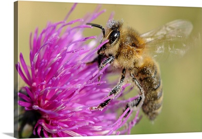 A Bee Sitting On Thistle