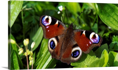 A Peacock Butterfly Sitting On Leaf In Meadow