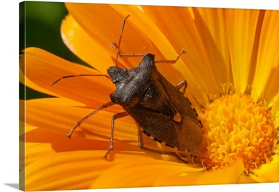 A Red-Legged Tree Bug Sits On Yellow Marigold Flower