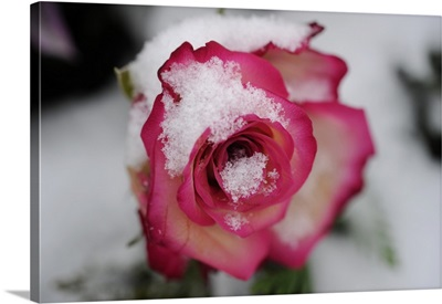 A Rose Blooming In Snow