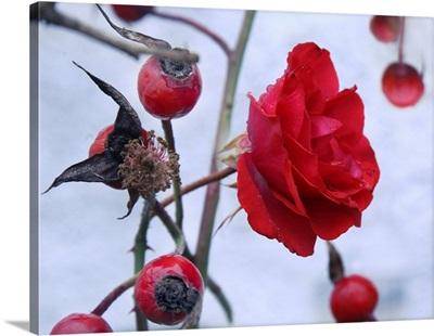 A Rose Is Flowering Between Rose Hips In Garden