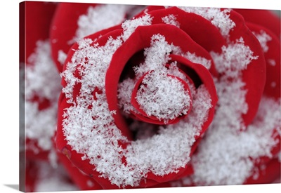 A Snow Covered Rose