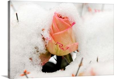 A Snowy Rose