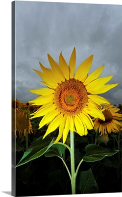 A Sunflower In Front Of Cloudy Sky