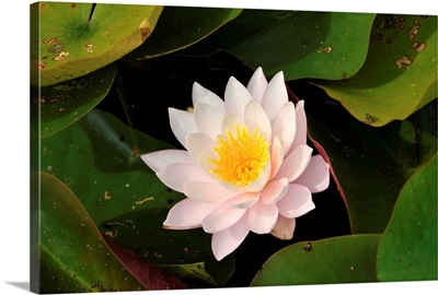 A Water Lily At Botanical Gardens