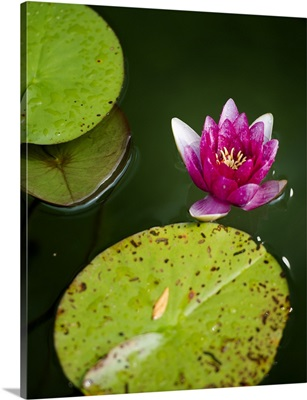 A Water Lily Floating On Pond