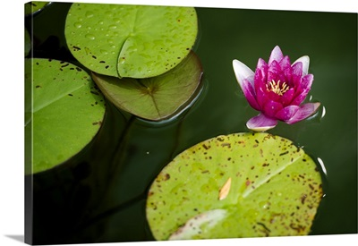 A Waterlily Floating On Pond