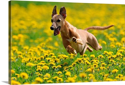 A Whippet Running Through Meadow Covered In Dandelions