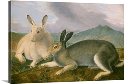 Arctic Hare, by John James Audubon, 1841, American painting