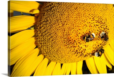 Bumblebees Collect Nectar From Sunflower