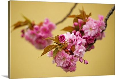 Cherry Blossoms On Tree In Springtime