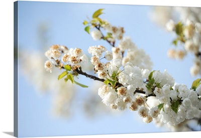 Close-up of white flowers on tree branch
