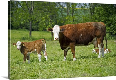 Dairy Cows And Calves Grazing In Pasture