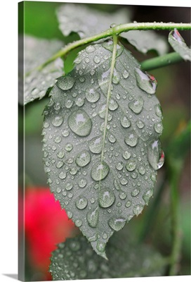 Leaf Of Rose With Raindrops