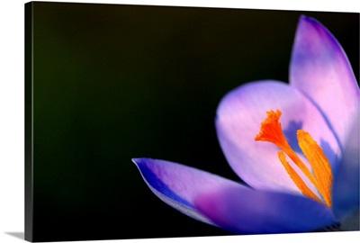 Purple Crocus In Spring