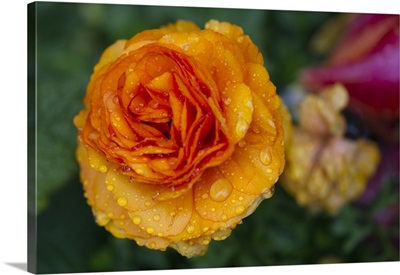Raindrops Hanging On Rose In Windowbox