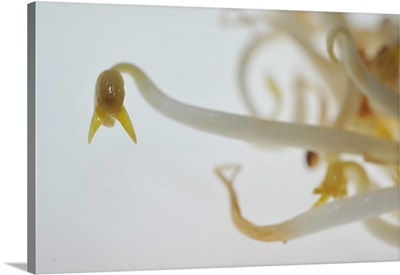 Soya Bean Sprouts