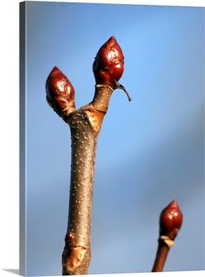The Bud Of Chesnut
