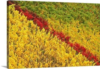 Vineyard In Autumn, Hattenheim, Germany