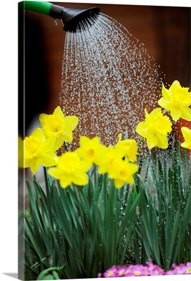 Watering Daffodils With Watering Can