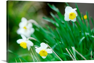 White and yellow daffodils in green field