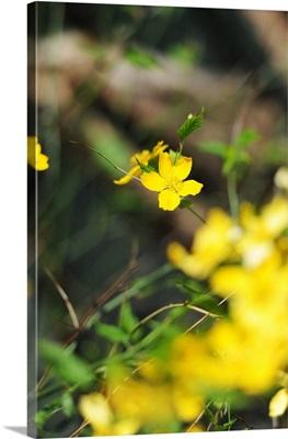 Yellow flowers in in meadow