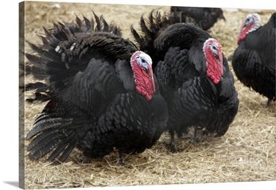 Black Norfolk turkeys