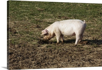 British lop eared pig rooting