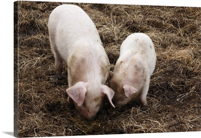 British lop eared pigs rooting