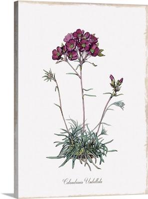 Botanical Calandrinia